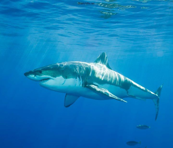 Visit SharkGifts.net for more awesome shark photos