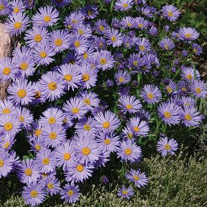 Dwarf Alpine Aster Early Spring High Country Gardens Trees To Plant Magical Garden