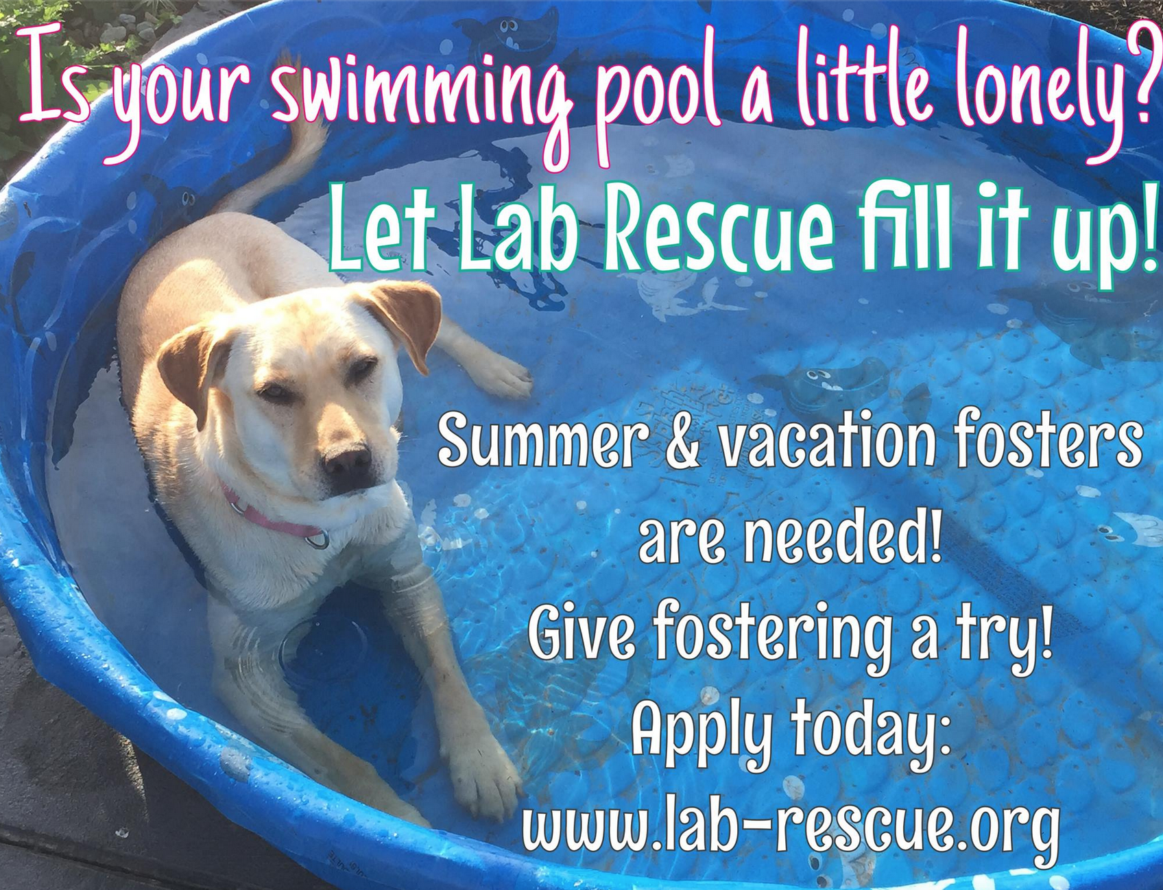 Foster homes needed: Lab Rescue is in need of summer/ vacation foster homes for our gorgeous Labs. Give fostering a try! We can help match you to a Lab that is in need of a loving foster home. If you prefer young, middle age or senior labs we can help find a wonderful lab for you to foster. Apply today- we love our foster homes!!! http://lab-rescue.org