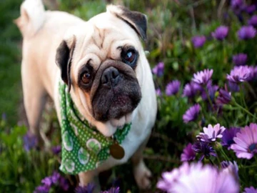 5d Diamond Painting Flowers And Dogs Paint With Diamonds Art Crystal Craft Decor Pug Wallpaper Puppy Wallpaper Pugs