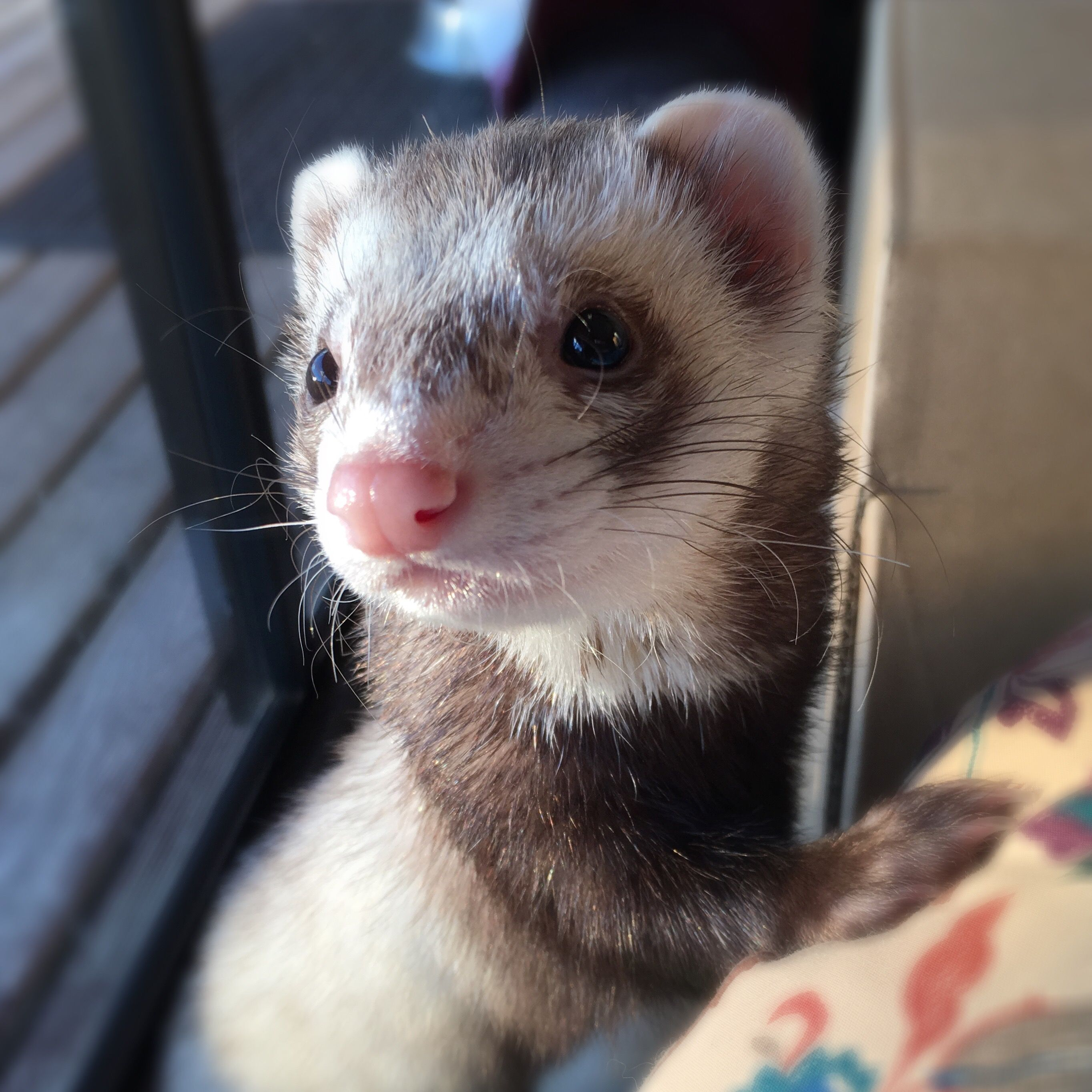 I Said He Was Beautiful Ferris Cute Ferrets Pet Ferret