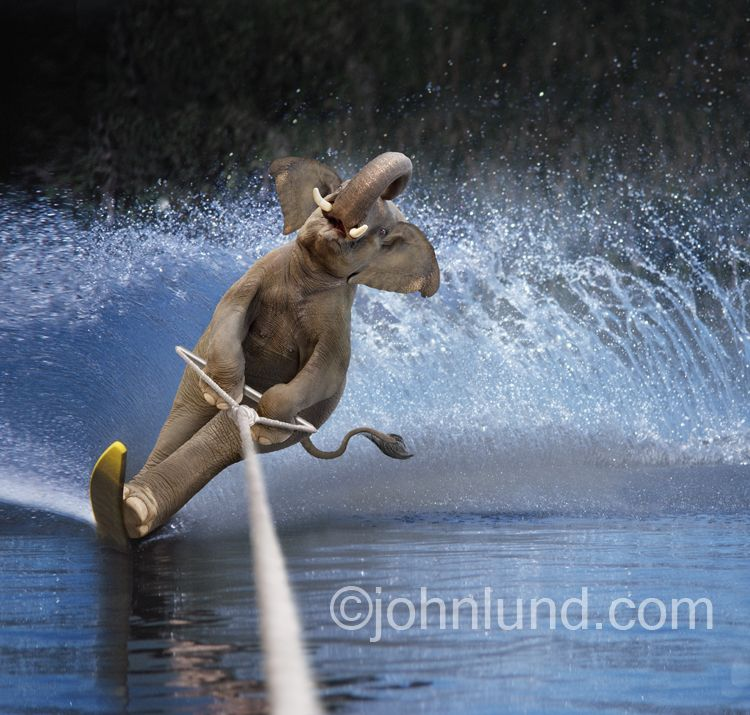 Water Skiing Elephant Funny Photo Of An Elephant Water Skiing