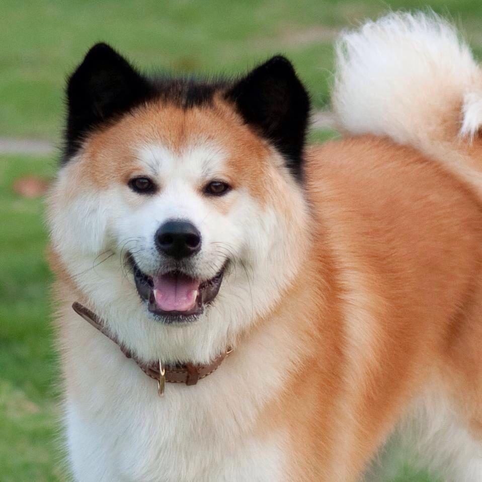 Japanese Akita with Chimera genetics. (Chimeras are formed ... Chimera Genetics Dog