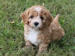 Cavapoo! Minimal shedding and good size dog :) | TOO CUTE | Cavapoo
