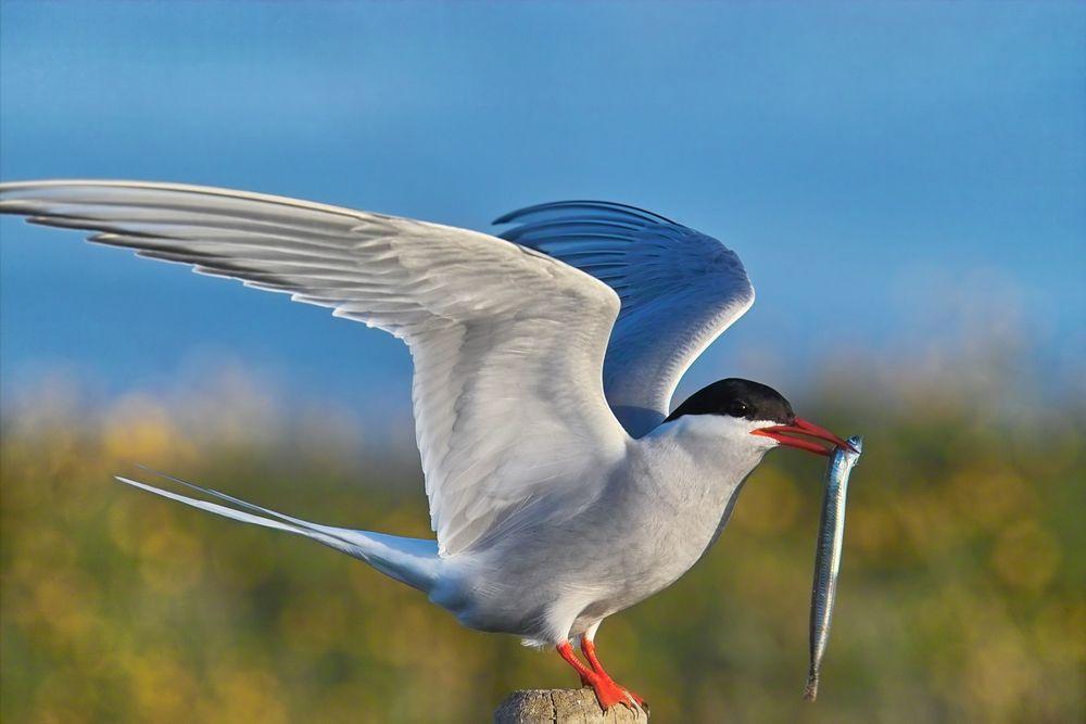 Arctic Tern Sterna Paradisaea Arktiese Sterretjie Arctic Tern Bird Facts Coastal Birds