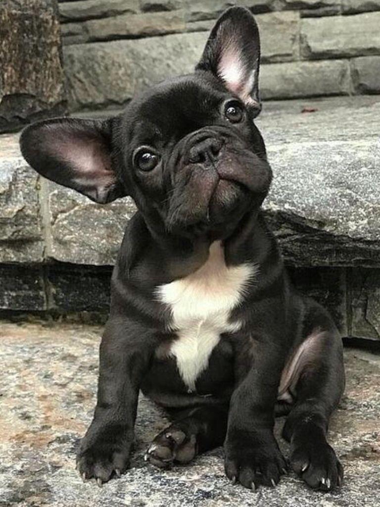 French Bulldog Puppy Dog Training Tips (avec images