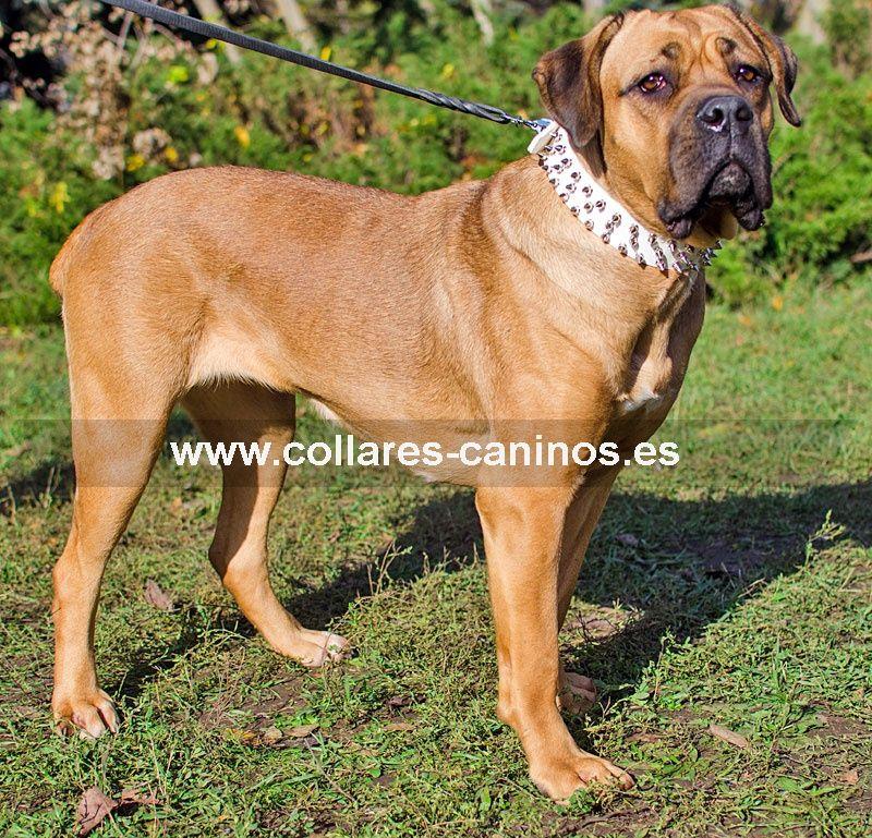 Tipos De Collares De Castigo Para Perros Blanco Collar De Cuero Cane Corso Picos Majestuosos Con