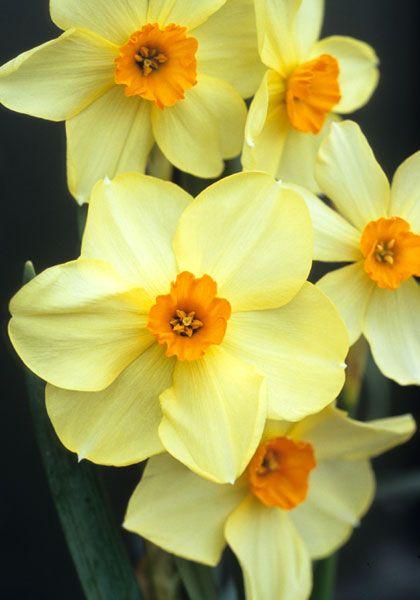Old House Gardens Heirloom Bulbs Daffodils Flowers Spring Flowers
