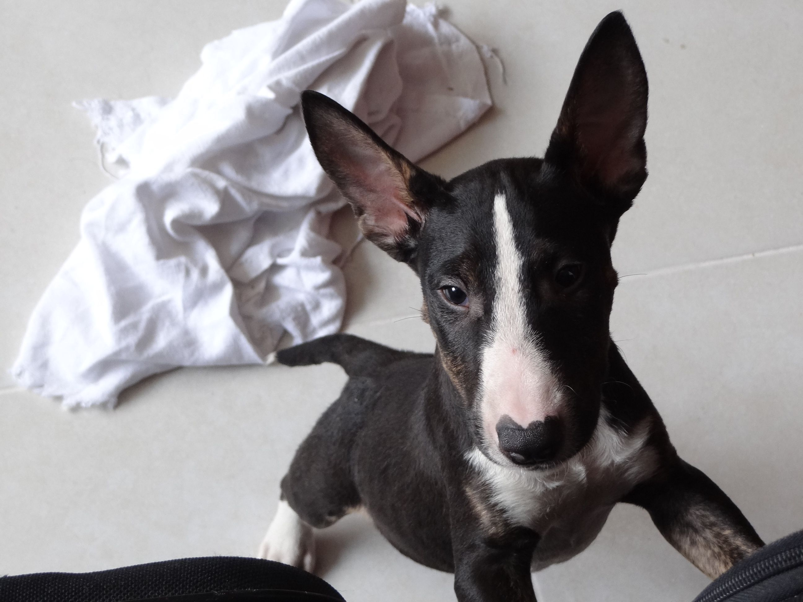 Piggy Bull Terrier Bull Terrier English Bull Terriers Bully Dog