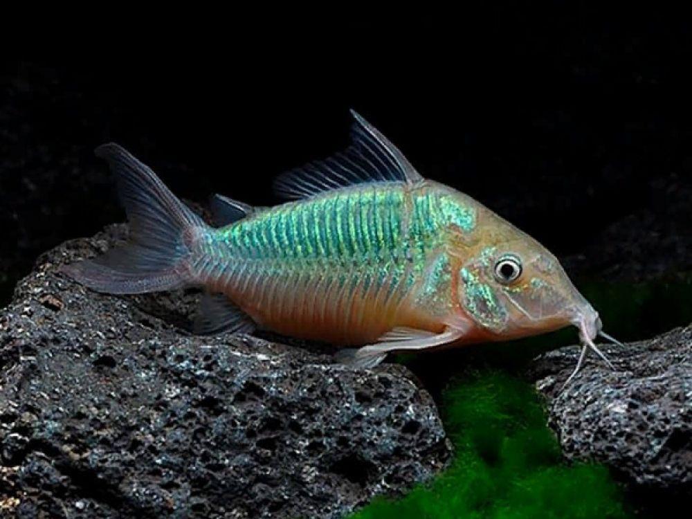 Corydoras Splendens Fresh Water Fish Tank Aquarium Fish Animals