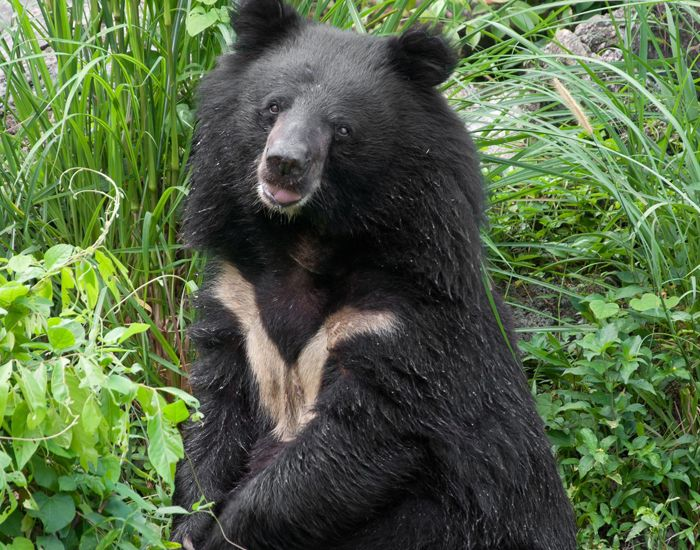 The Asiatic Black Bear S Scientific Name Selenarctos Thibetanus Means Moon Bear Of Tibet Because Of The Large Whi Black Bear Moon Bear Bear Stuffed Animal