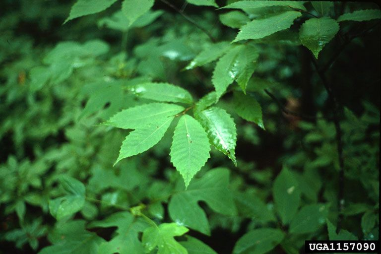 american chestnut (With images) American chestnut, Herbs