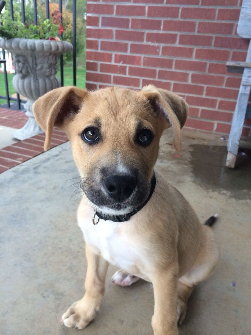German Shepard Boxer Mix