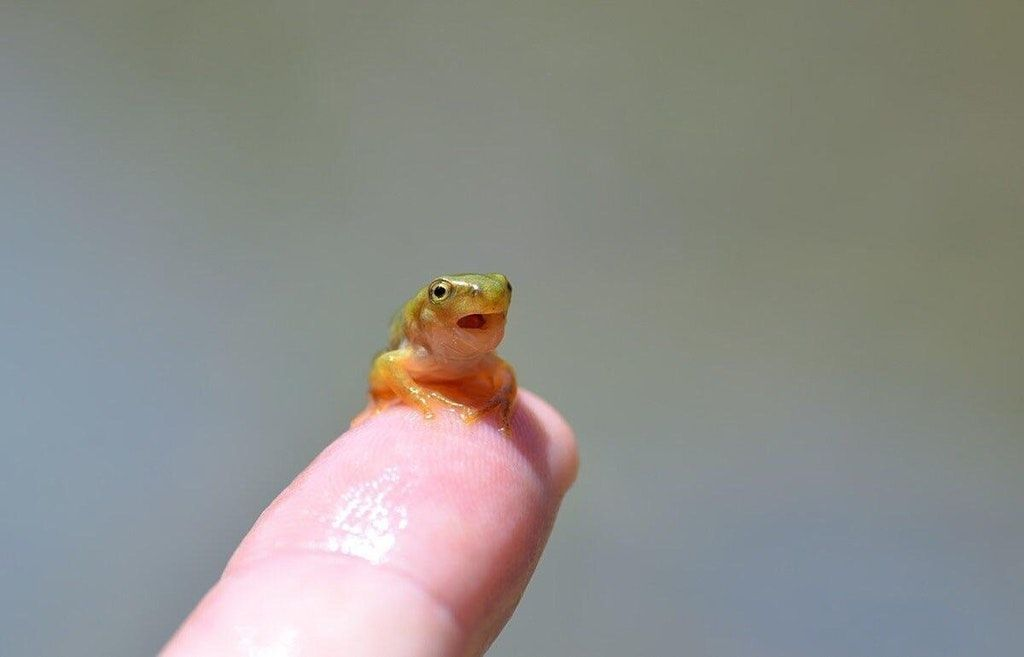 Frog Taking Its First Breath Using Its Lungs Tinyanimalsonfingers Tadpole To Frog Frog Frog And Toad