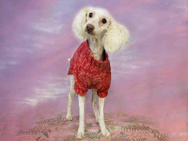 Poodle Miniature Dog For Adoption In Sugar Land Tx Adn 502666 On Puppyfinder Com Gender Male Age Adult Miniature Dogs Dog Adoption Animal Shelter