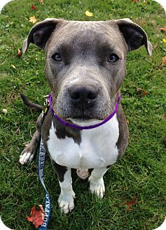 Sharon Center, OH - Pit Bull Terrier/Staffordshire Bull Terrier Mix. Meet Zeke, a puppy for adoption. http://www.adoptapet.com/pet/16933074-sharon-center-ohio-pit-bull-terrier-mix