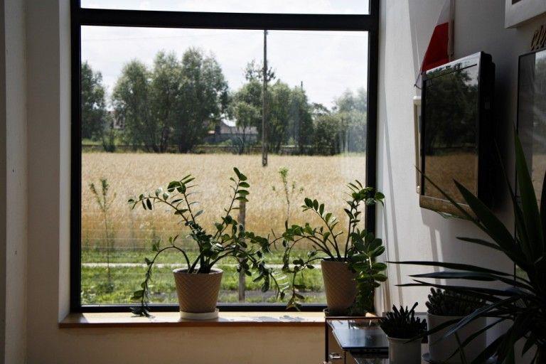 Zamionculus Windows Garden