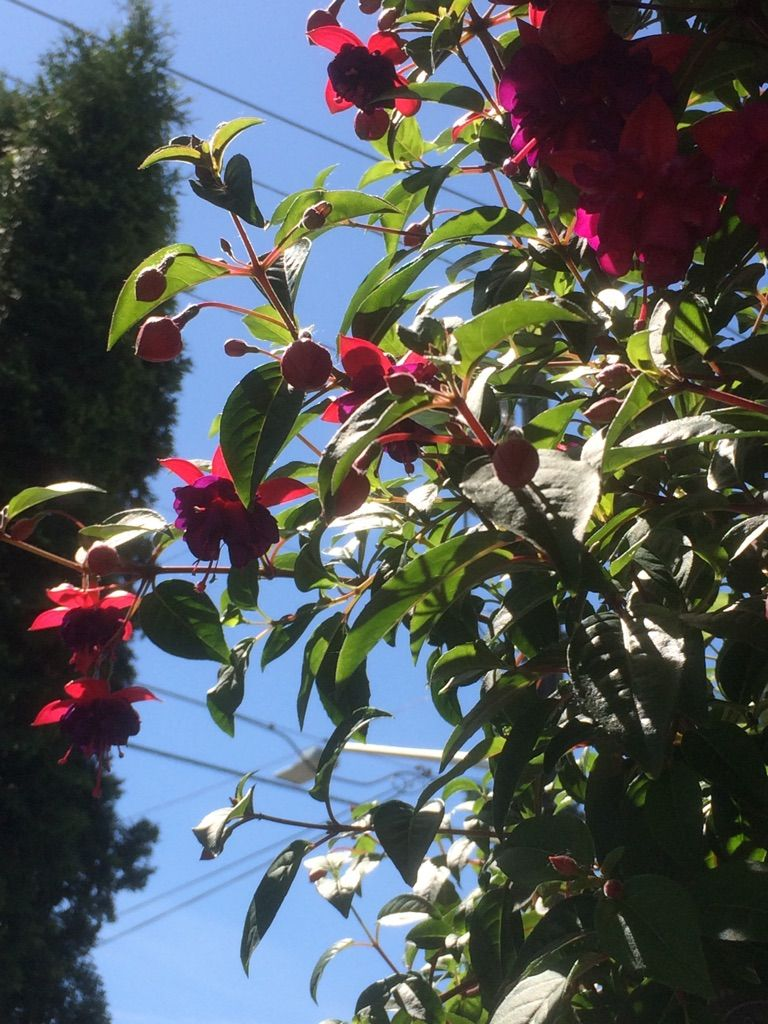 My fuschia looking quite lovely against the blue sky