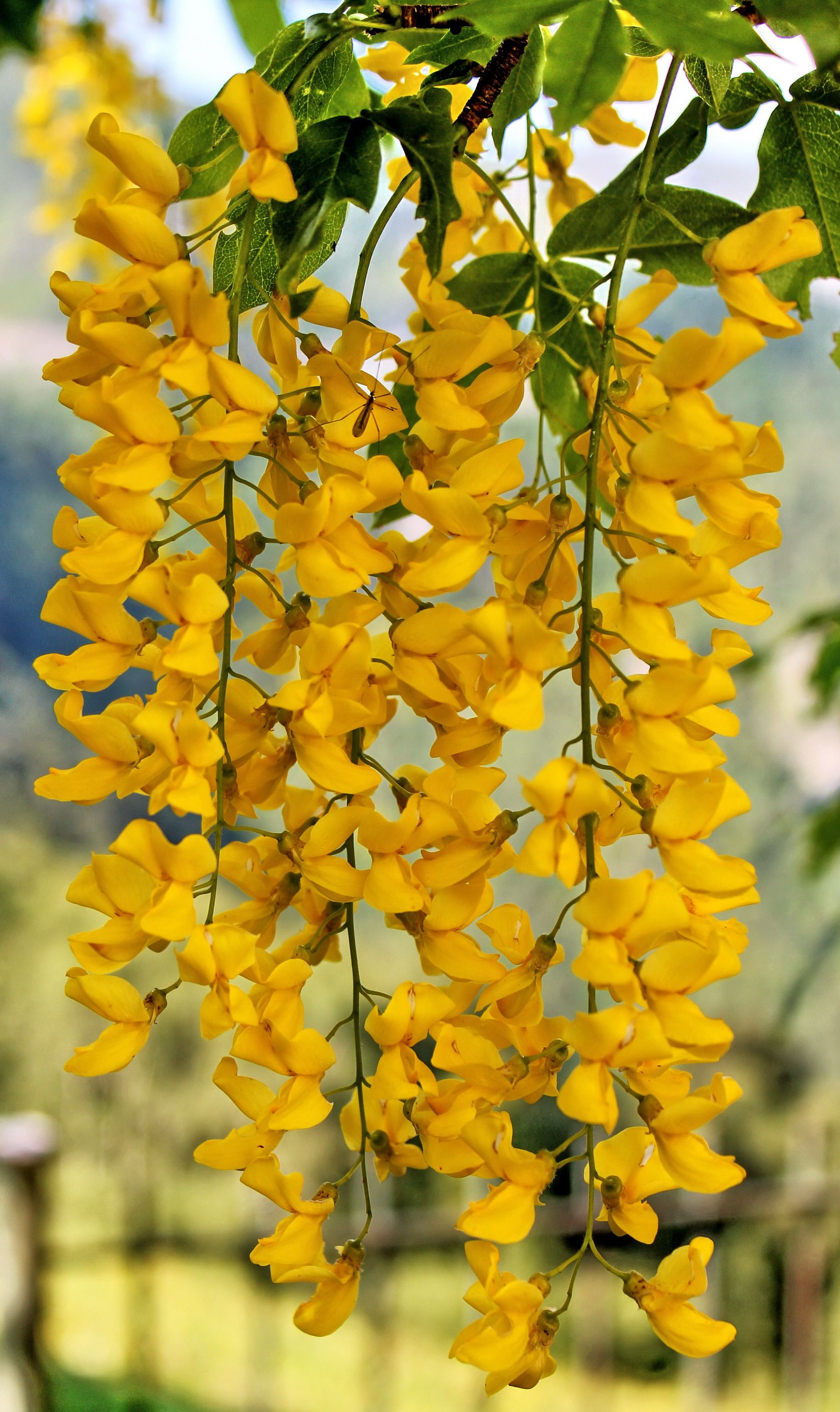 Laburnum A Small European Tree That Has Hanging Clusters Of Yellow