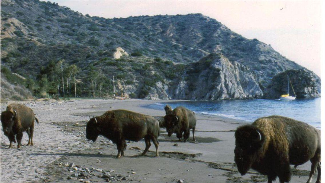 Bison On Catalina Island Catalina Island Santa Catalina Island