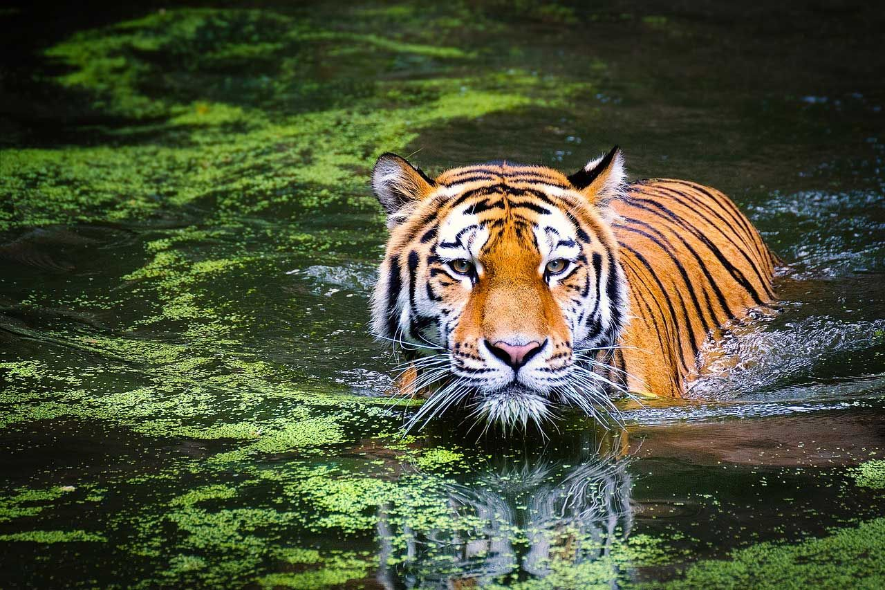 What Does It Mean To Dream Of A Tiger If You Are Wondering About
