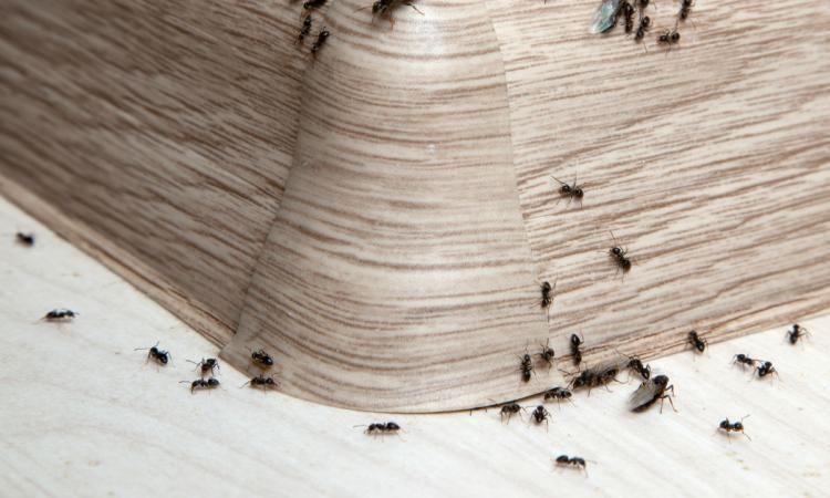d barrassez vous des fourmis autour et dans la maison en. Black Bedroom Furniture Sets. Home Design Ideas