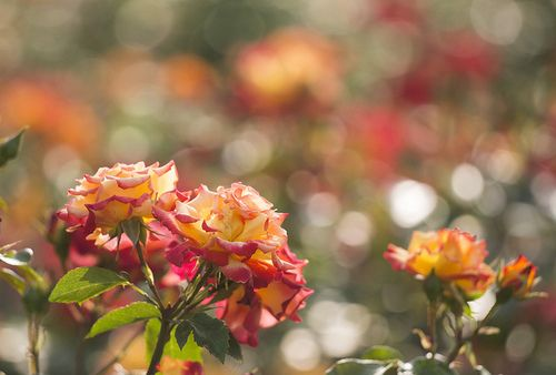 rose by * Yumi * on Flickr.