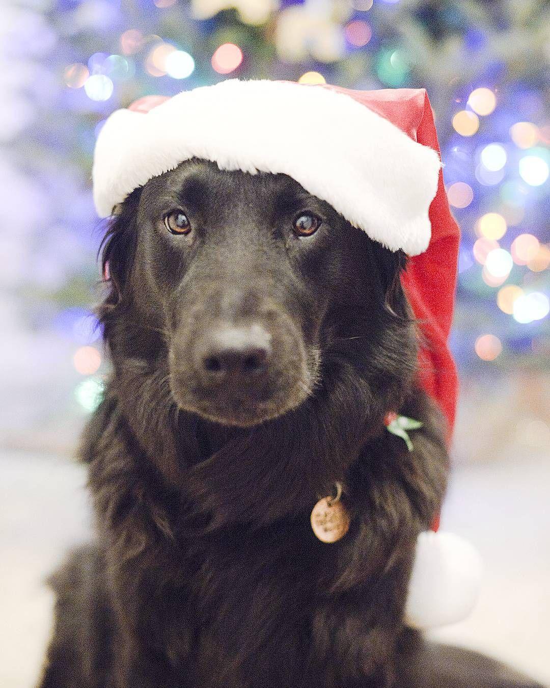 Black lab retriever labrador retriever santa hat dog