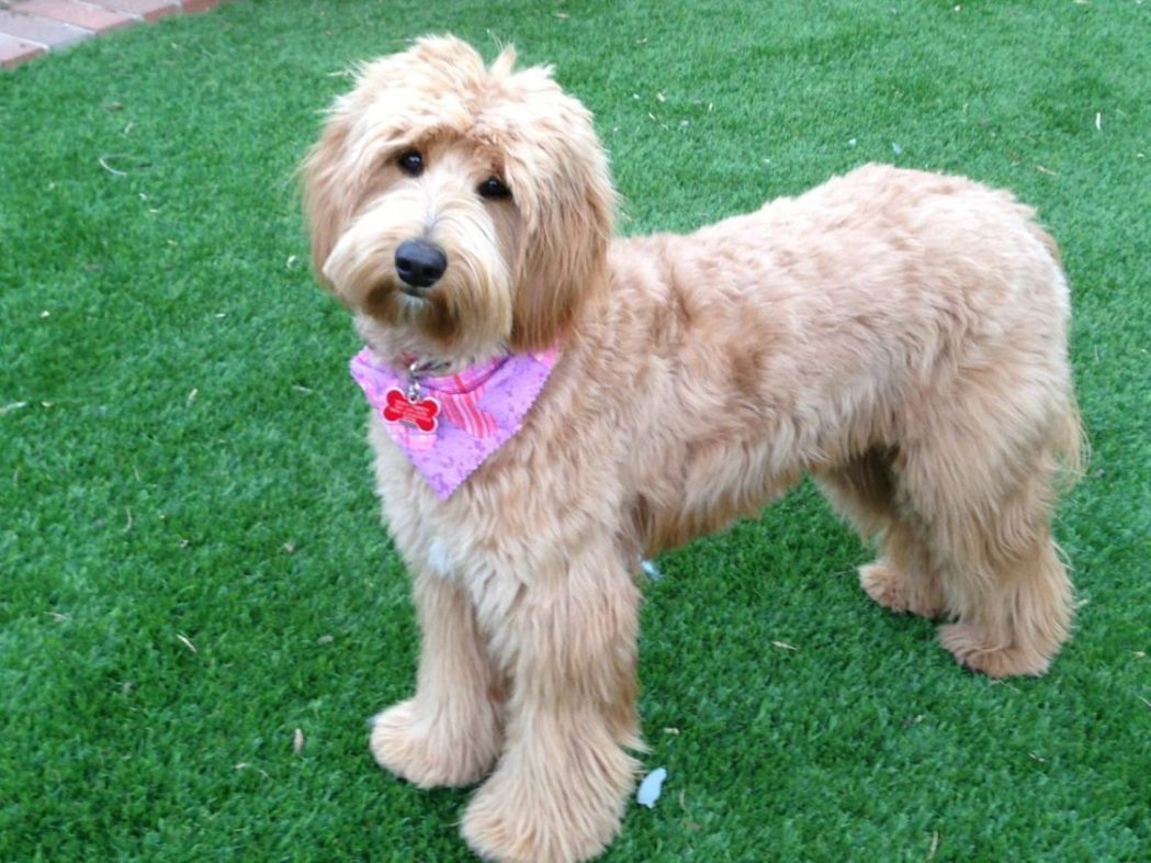 16 New Goldendoodle Haircut Guide Pictures Meowlogy | 16 new goldendoodle haircut guide pictures meowlogy