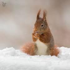 Afbeeldingsresultaat voor eekhoorn in de sneeuw