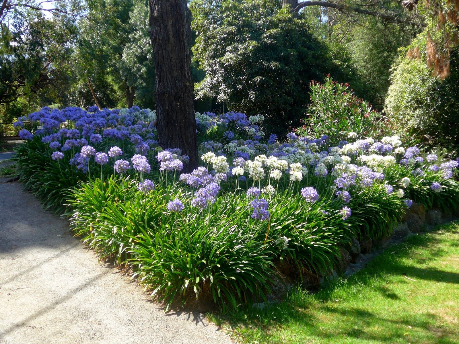 Purple Cloud Agapanthus Pictures  Google Search