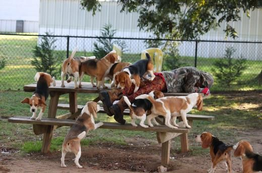 Miller Beagle Pups | AKC Beagles Puppies For Sale | North Carolina