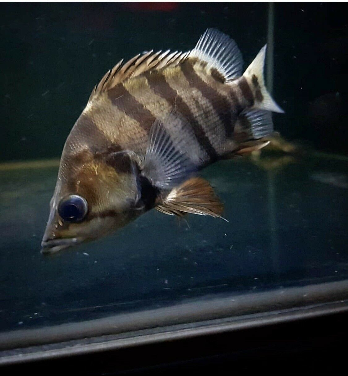 American Tiger Datnoid Tiger Fish Tropical Fish Fish Pet