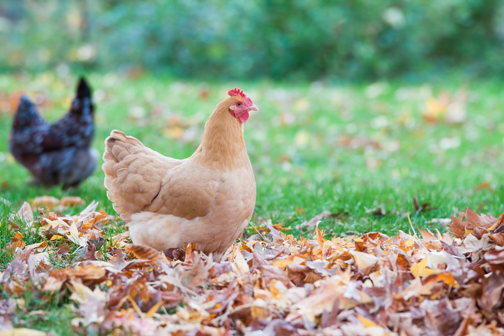 Chickens are delightful creatures. Not only will they help you go green, they'll provide you with delicious eggs and hours of entertainment.