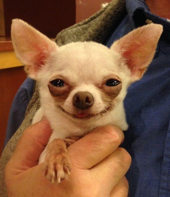 Resultado de imagen para chihuahua happy