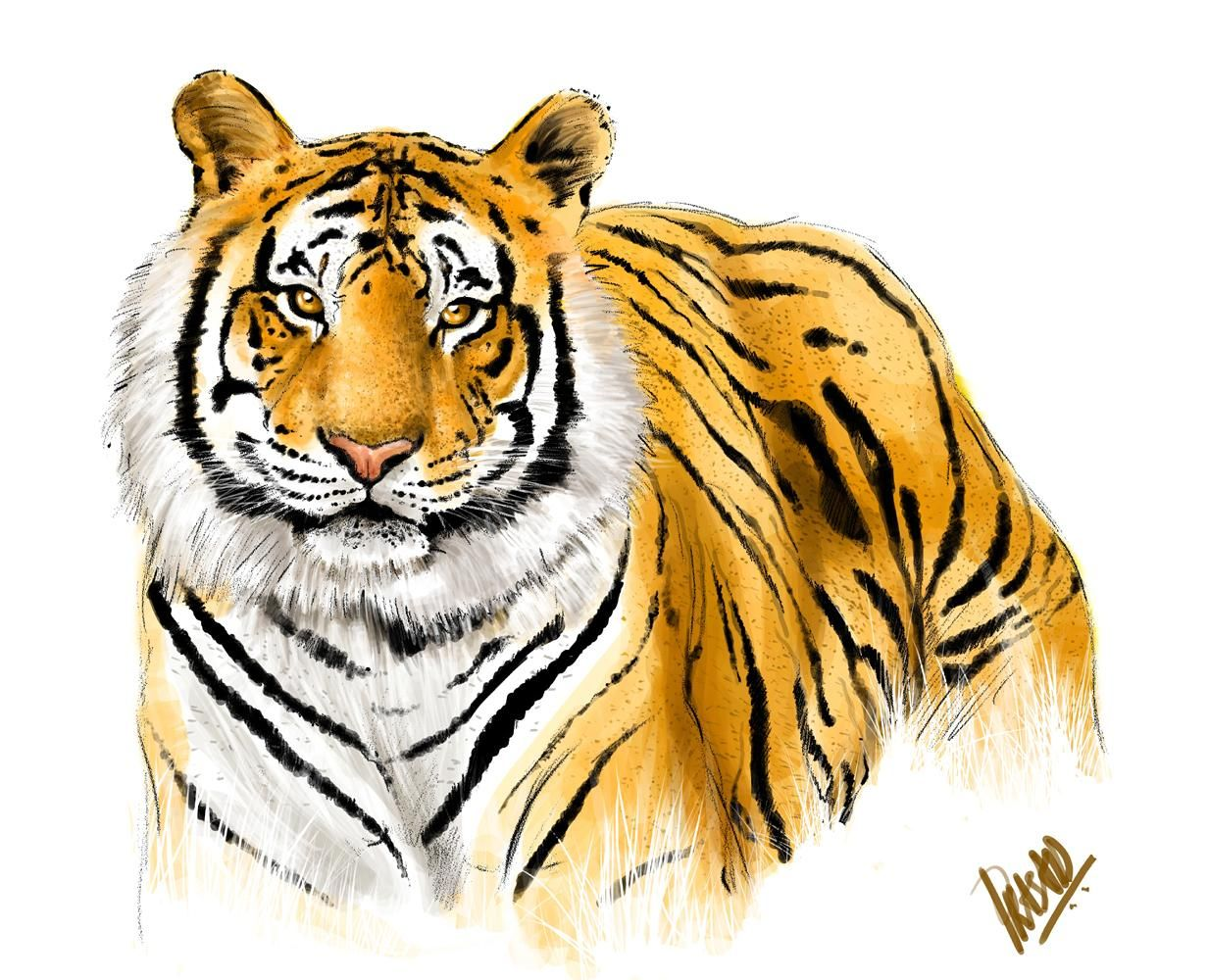 tiger images the royal bengal tiger the endangered species