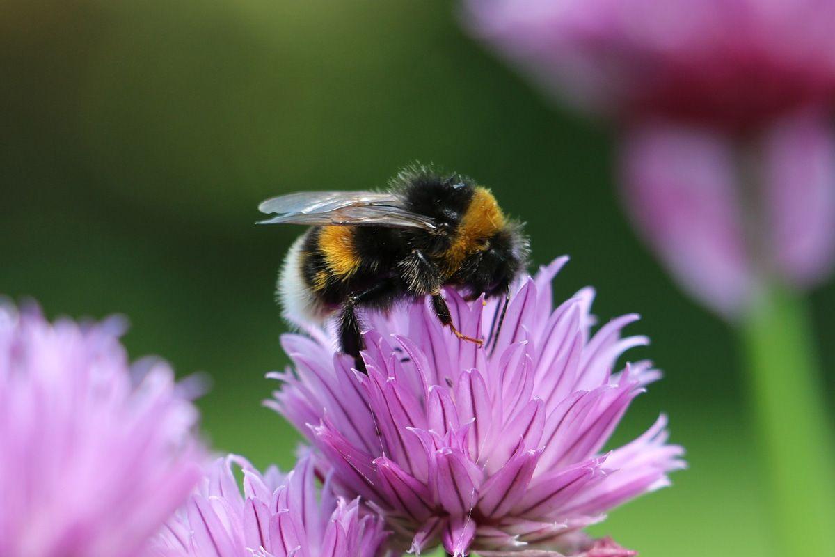 Wez Udzial W Spolecznym Monitoringu Pszczol Dodaj Zdjecie Bee Friendly Garden Bee Friendly Bumble Bee