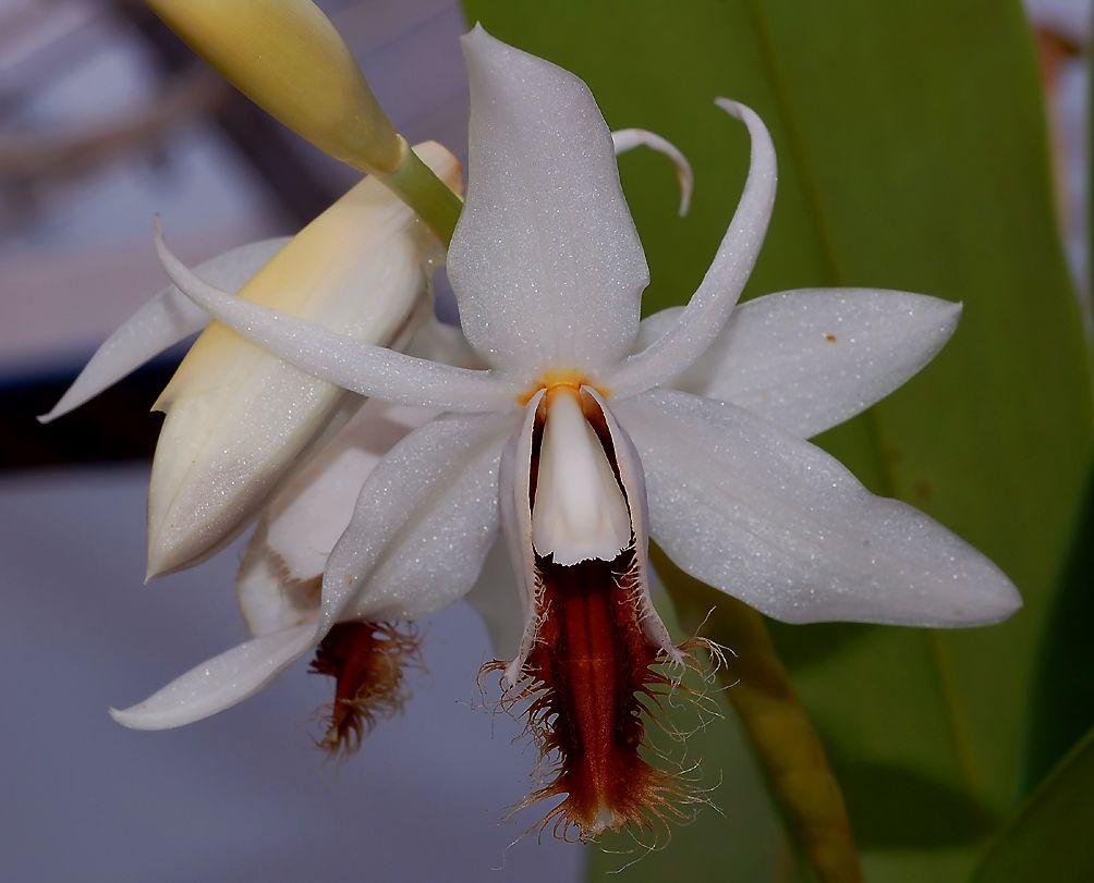Coelogyne barbata orquideas pinterest orchid flowers and