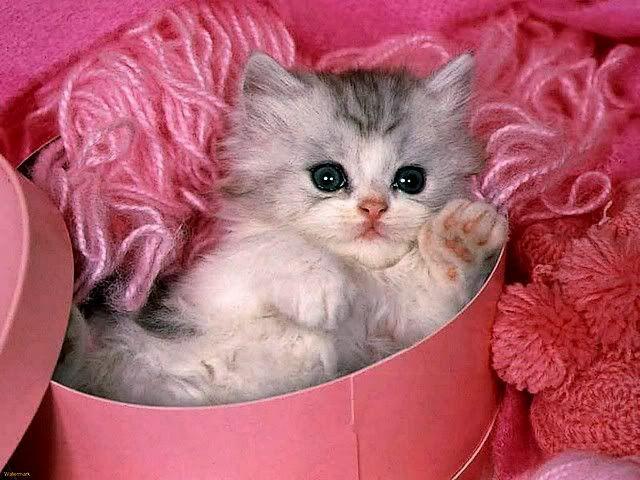 Valentine S Day Kitten Google Search Valentine Cats Kittens