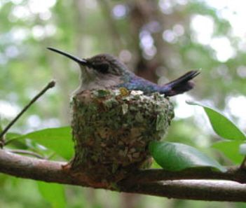 """Bee Hummingbird (Female) by birdingpal.org: Endemic to Cuba, the smallest bird in the world measures about 1.5"""" from the tip of the bill to the end of the tail and weighs about 1.8g. the cup shaped nest is about 1"""" diameter and contains eggs no larger than peas. In the course of one day, the bee hummingbird may visit 1,500 flowers. http://tinyurl.com/a3ttbe  #Bee_Hummingbird #birdingpal_org #wikipedia"""