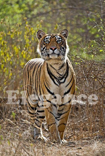 Esta toma, ha sido captado cuando mi amigo tigre fija su atención en una manada de ciervos. Fotografiado por Andy Rouse, Wildlife Photography.