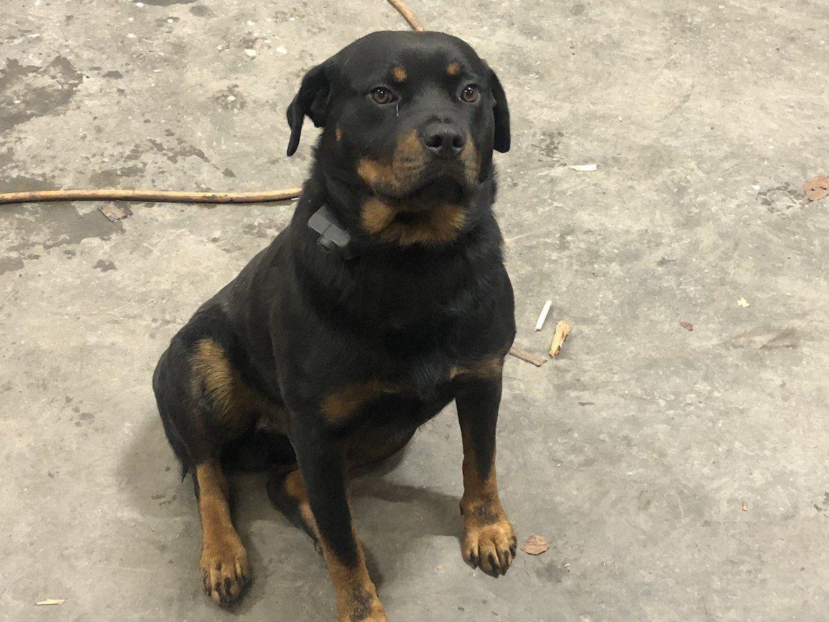 Dogs For Sale In Ireland Donedeal Rottweiler Doberman Bloodhound Knersus S Blog Rottweiler X Puppies For Sale Uk Janua In 2020 Rottweiler Doberman Rottweiler Puppies