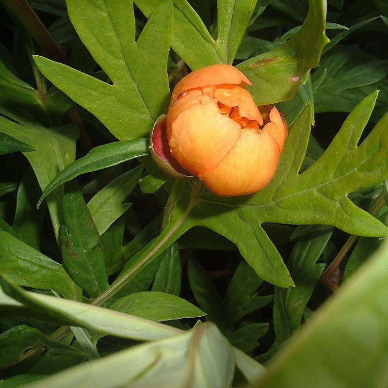 A rare orange peony