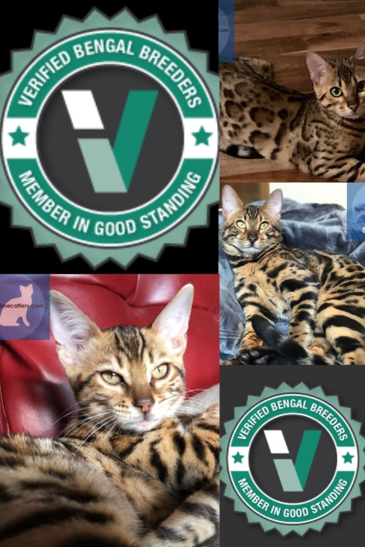 Looking For A Verified Bengal Breeder In 2020 Bengal Kittens For Sale Bengal Kitten Cat Club