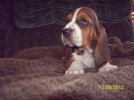 Basset Hound Puppies For Adoption Gorgeous Basset Hound Puppies For Sale Adoption From Hensall Ontario Basset Hound Puppy Hound Puppies Basset Hound