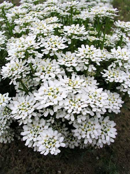 Iberis Sempervirens Purity Perennials Garden Ground Cover