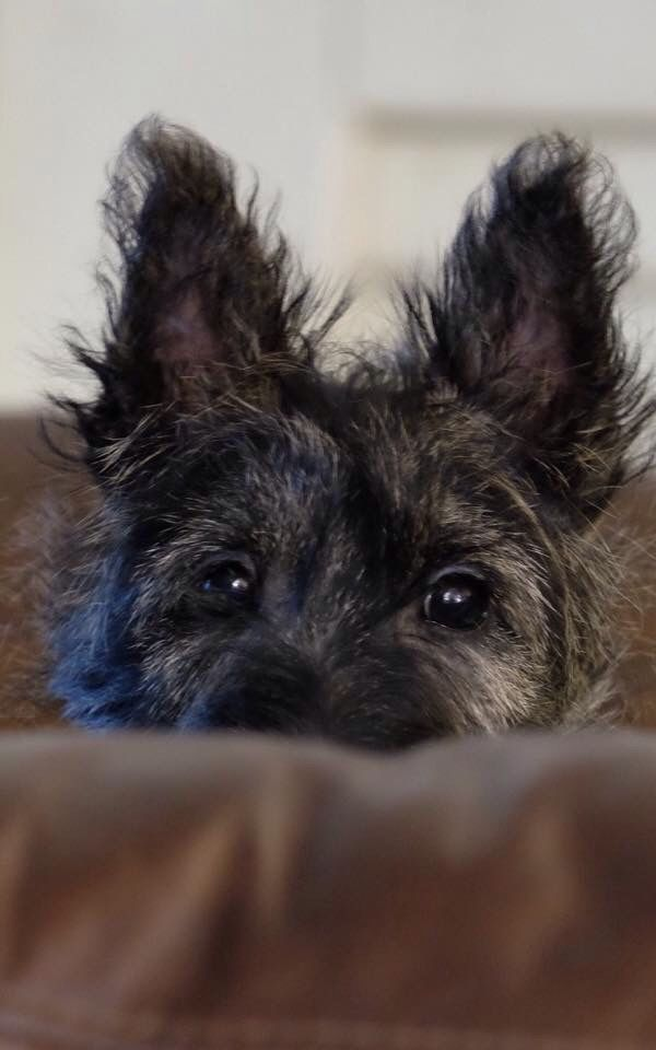 Scottish Terriers Scottie Terrier Scottie Dog Scottish Terrier
