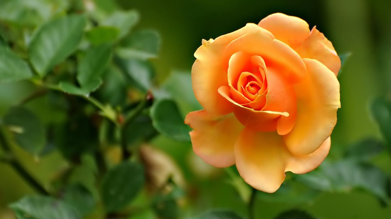 Official Website Rose Flower Wallpaper Beautiful Flowers Images Beautiful Flowers