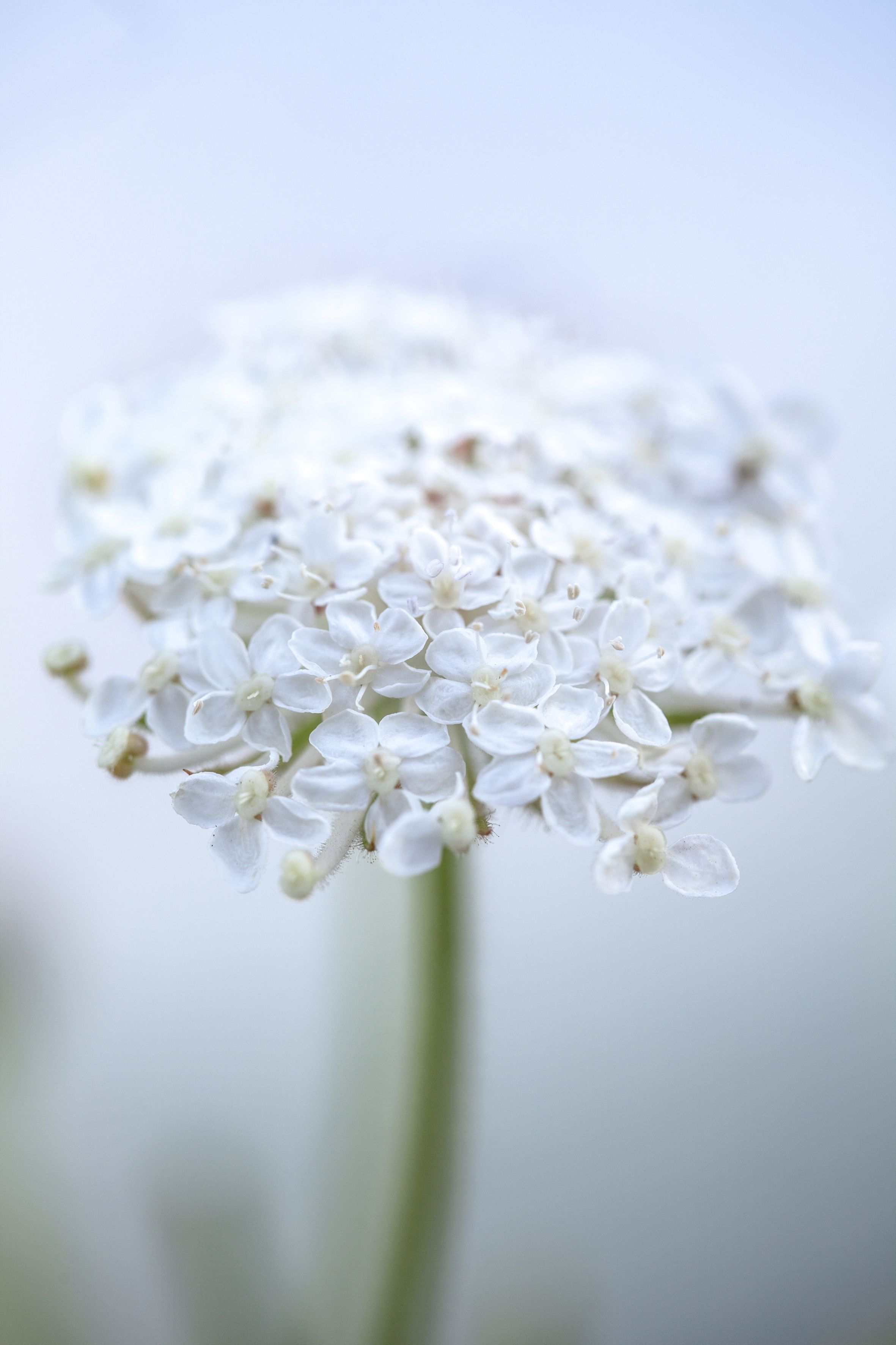 Didiscus Caeruleus Lacy White Beautiful White Flowered Variety Of The Blue Lace Flower Large Lacy Umbels Of White F Bees Plants Summer Flowers Flower Seeds