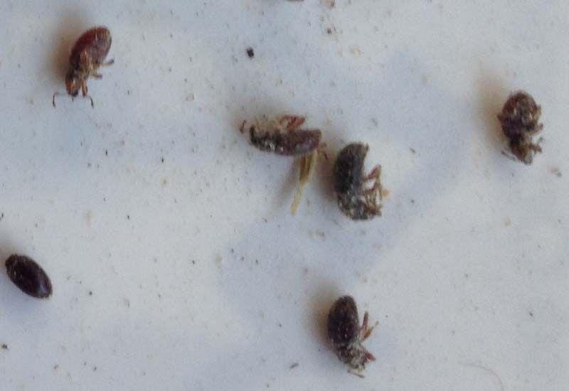 Weevil Infestation Infestations Beetle Weevils
